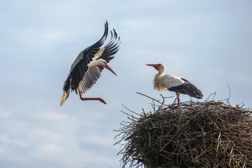03landender Storch