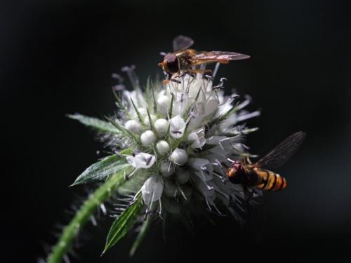 Schwebfliegen_volker